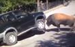 нападение быка на машину