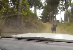 баран нападает на автомобиль